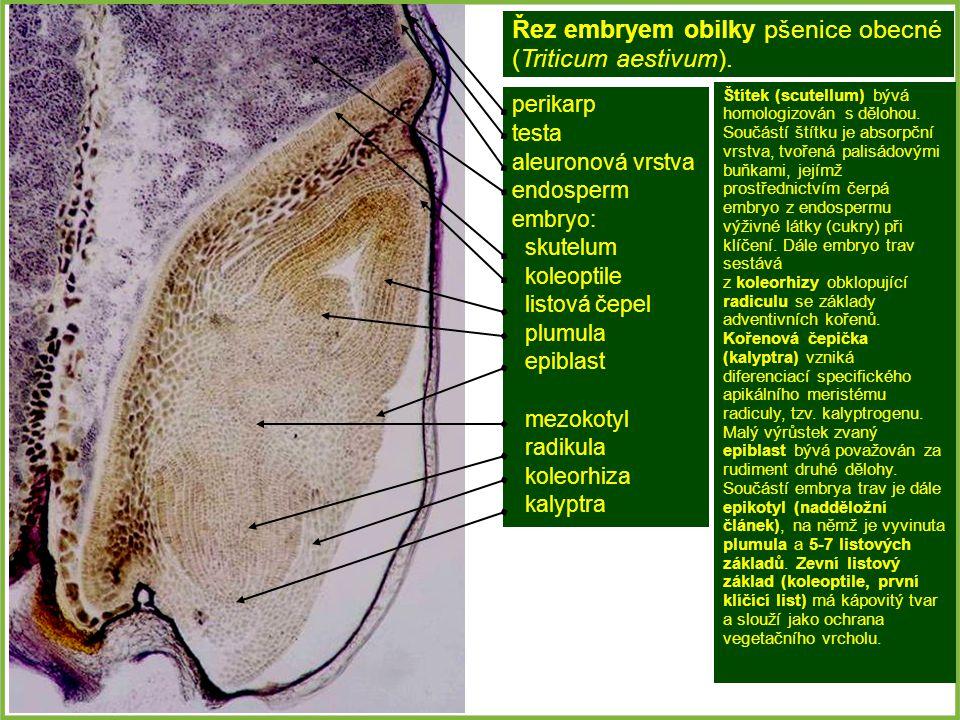 perikarp testa aleuronová vrstva endosperm embryo: skutelum koleoptile listová čepel plumula epiblast mezokotyl radikula koleorhiza kalyptra Řez embryem obilky pšenice obecné (Triticum aestivum).