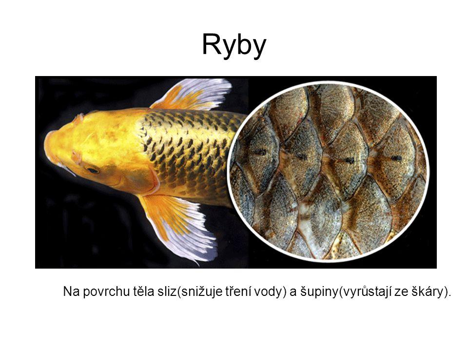 Ryby Na povrchu těla sliz(snižuje tření vody) a šupiny(vyrůstají ze škáry).