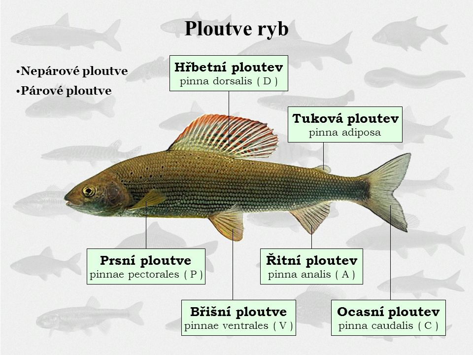 Ploutve ryb Hřbetní ploutev pinna dorsalis ( D ) Tuková ploutev pinna adiposa Prsní ploutve pinnae pectorales ( P ) Břišní ploutve pinnae ventrales (