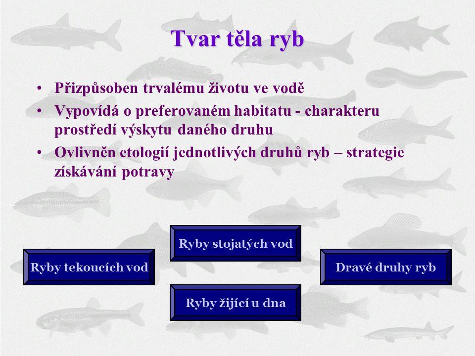 Tvar těla ryb Ryby tekoucích vodDravé druhy ryb Ryby stojatých vod Přizpůsoben trvalému životu ve vodě Vypovídá o preferovaném habitatu - charakteru p