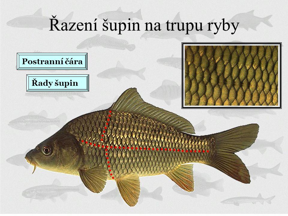 Řazení šupin na trupu ryby Postranní čára Řady šupin