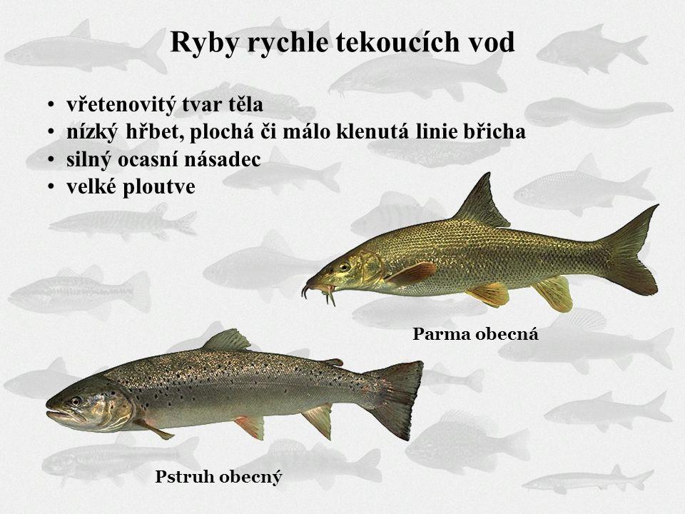 Ryby rychle tekoucích vod vřetenovitý tvar těla nízký hřbet, plochá či málo klenutá linie břicha silný ocasní násadec velké ploutve Pstruh obecný Parm