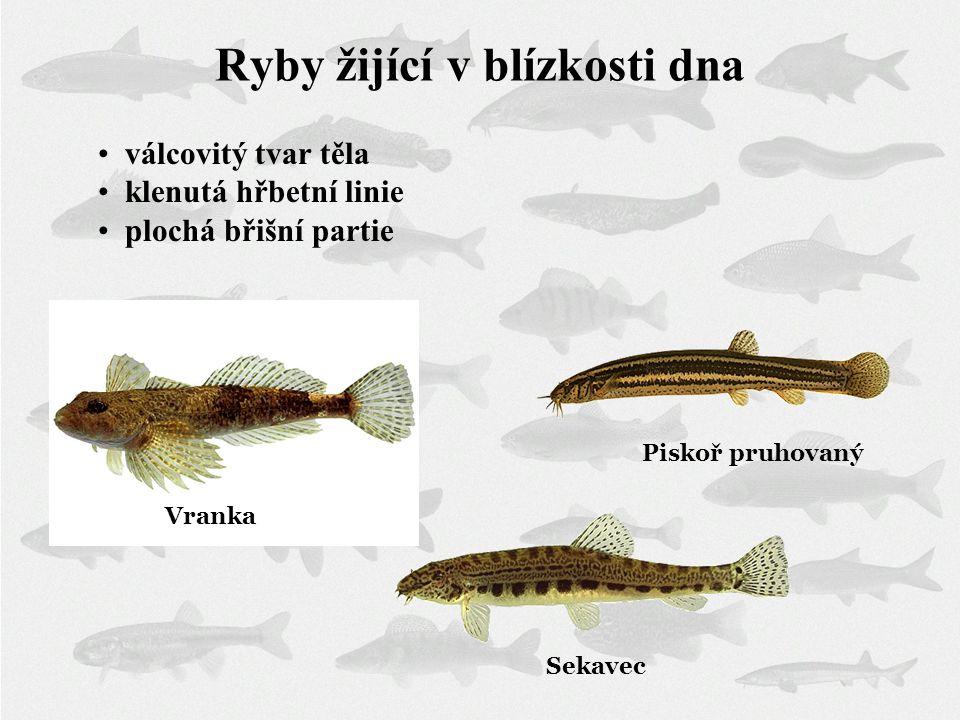 Piskoř pruhovaný Sekavec Ryby žijící v blízkosti dna válcovitý tvar těla klenutá hřbetní linie plochá břišní partie Vranka
