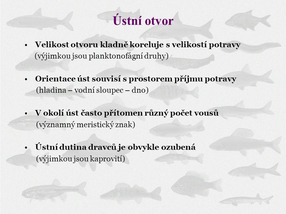 Ústní otvor Velikost otvoru kladně koreluje s velikostí potravy (výjimkou jsou planktonofágní druhy) Orientace úst souvisí s prostorem příjmu potravy