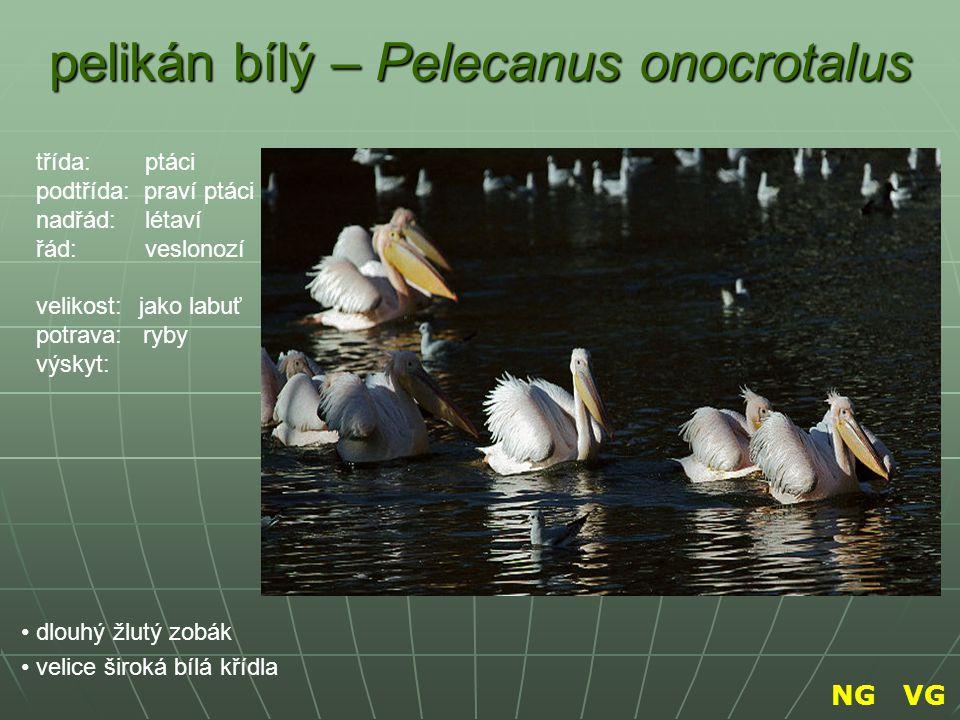 pelikán bílý – Pelecanus onocrotalus dlouhý žlutý zobák velice široká bílá křídla třída: ptáci podtřída: praví ptáci nadřád: létaví řád: veslonozí vel