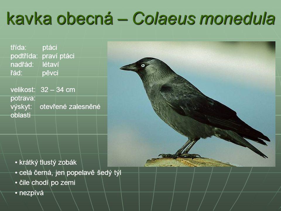 kavka obecná – Colaeus monedula krátký tlustý zobák celá černá, jen popelavě šedý týl čile chodí po zemi nezpívá třída: ptáci podtřída: praví ptáci na