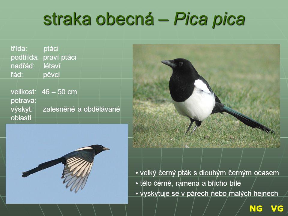 straka obecná – Pica pica velký černý pták s dlouhým černým ocasem tělo černé, ramena a břicho bílé vyskytuje se v párech nebo malých hejnech třída: p