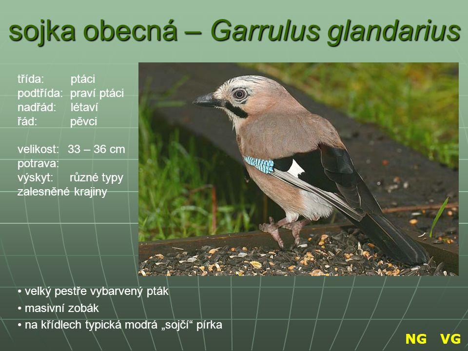 """sojka obecná – Garrulus glandarius velký pestře vybarvený pták masivní zobák na křídlech typická modrá """"sojčí"""" pírka třída: ptáci podtřída: praví ptác"""