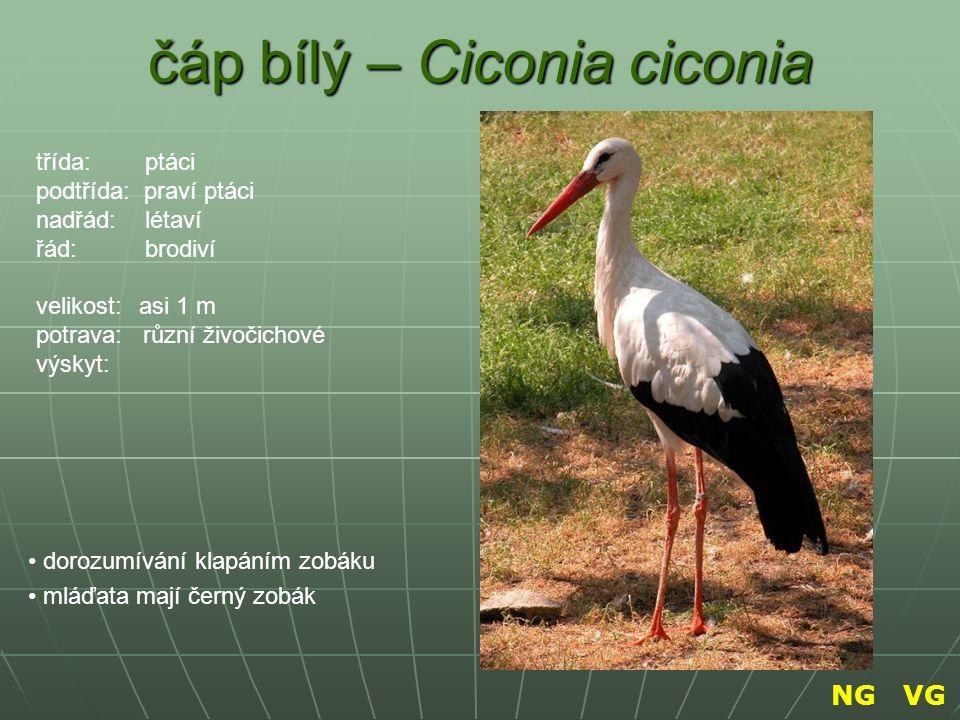 čáp bílý – Ciconia ciconia dorozumívání klapáním zobáku mláďata mají černý zobák třída: ptáci podtřída: praví ptáci nadřád: létaví řád: brodiví veliko