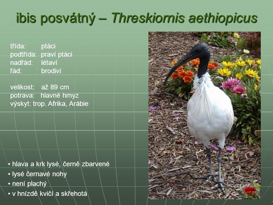 ibis posvátný – Threskiornis aethiopicus hlava a krk lysé, černě zbarvené lysé černavé nohy není plachý v hnízdě kvičí a skřehotá třída: ptáci podtříd