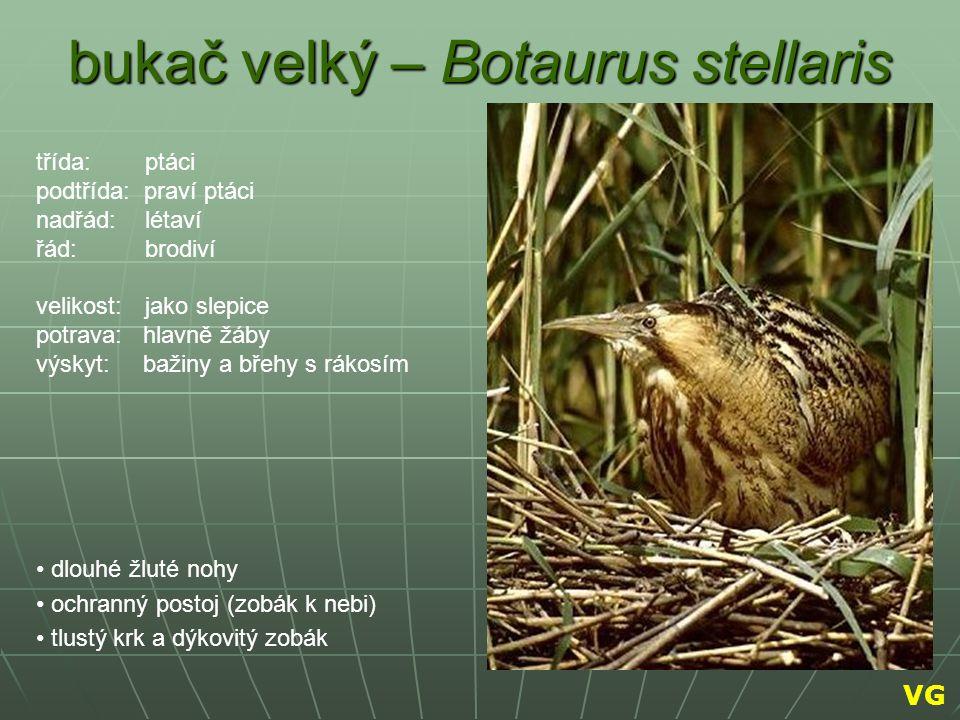 bukač velký – Botaurus stellaris dlouhé žluté nohy ochranný postoj (zobák k nebi) tlustý krk a dýkovitý zobák třída: ptáci podtřída: praví ptáci nadřá