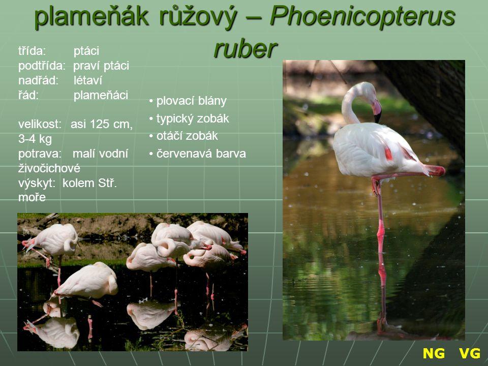 plameňák růžový – Phoenicopterus ruber plovací blány typický zobák otáčí zobák červenavá barva třída: ptáci podtřída: praví ptáci nadřád: létaví řád: