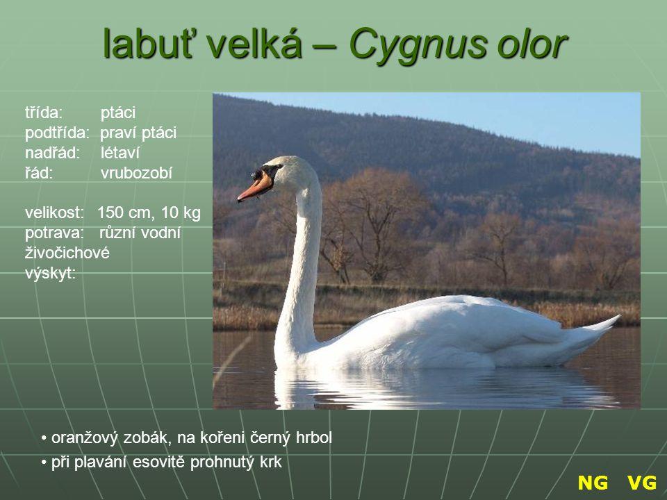 labuť velká – Cygnus olor oranžový zobák, na kořeni černý hrbol při plavání esovitě prohnutý krk třída: ptáci podtřída: praví ptáci nadřád: létaví řád