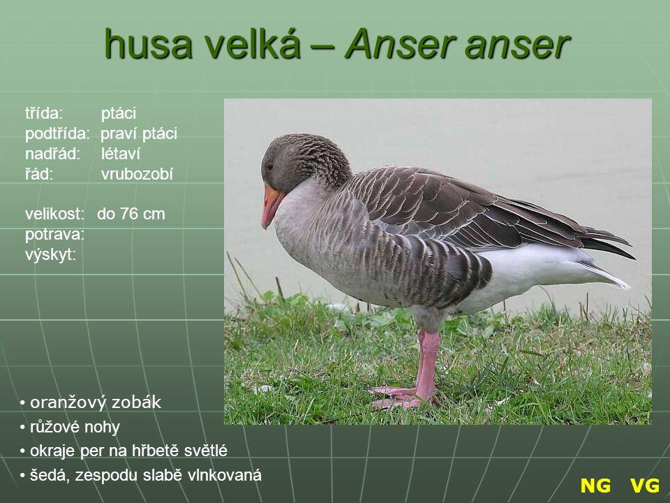 husa velká – Anser anser oranžový zobák růžové nohy okraje per na hřbetě světlé šedá, zespodu slabě vlnkovaná třída: ptáci podtřída: praví ptáci nadřá