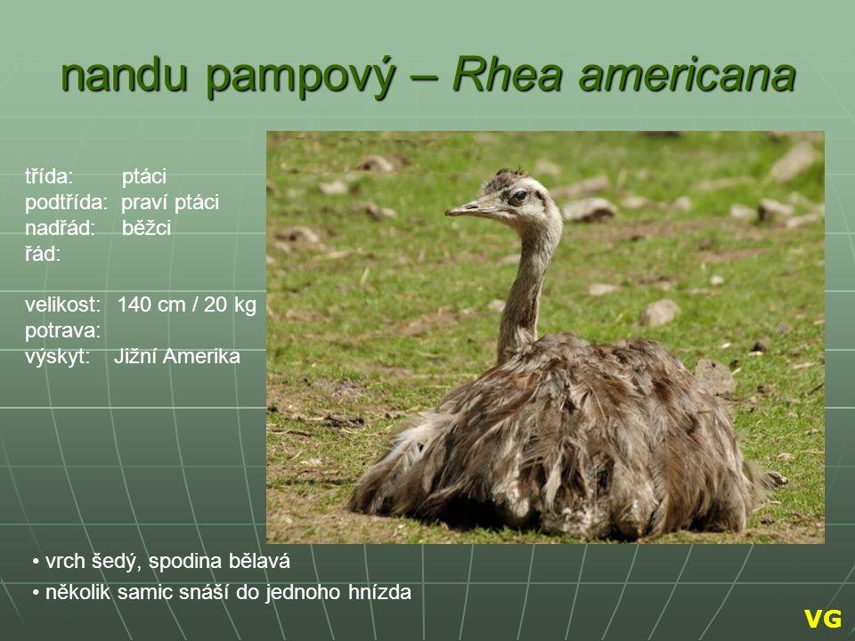 nandu pampový – Rhea americana vrch šedý, spodina bělavá několik samic snáší do jednoho hnízda třída: ptáci podtřída: praví ptáci nadřád: běžci řád: v