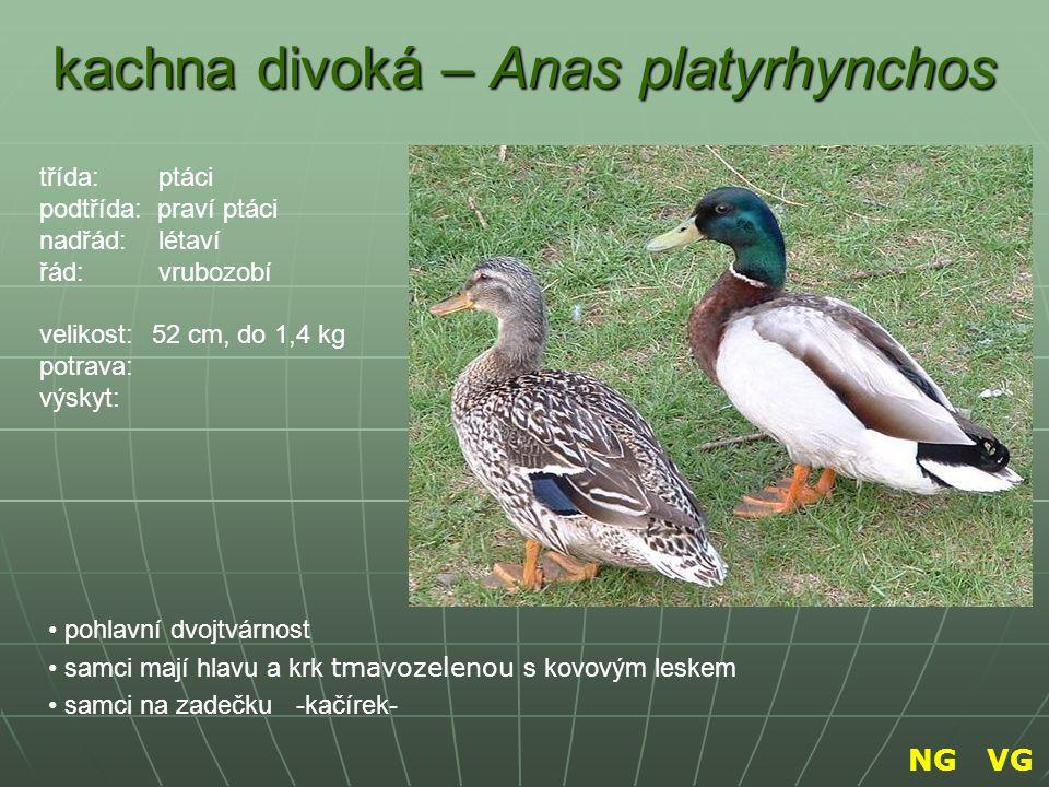 kachna divoká – Anas platyrhynchos pohlavní dvojtvárnost samci mají hlavu a krk tmavozelenou s kovovým leskem samci na zadečku -kačírek- třída: ptáci