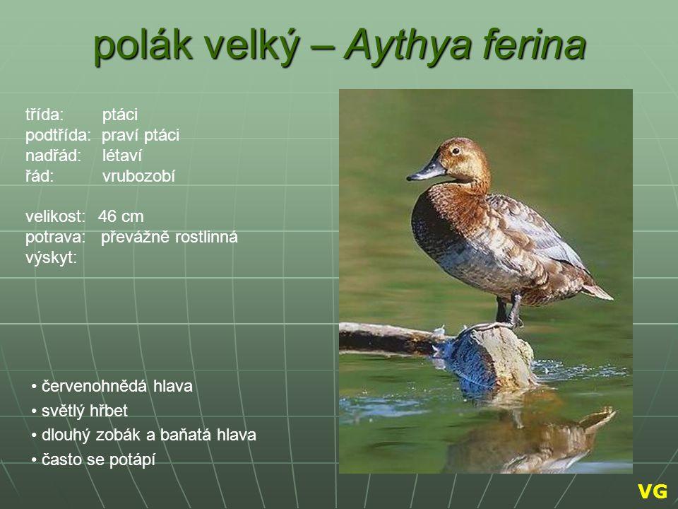 polák velký – Aythya ferina červenohnědá hlava světlý hřbet dlouhý zobák a baňatá hlava často se potápí třída: ptáci podtřída: praví ptáci nadřád: lét