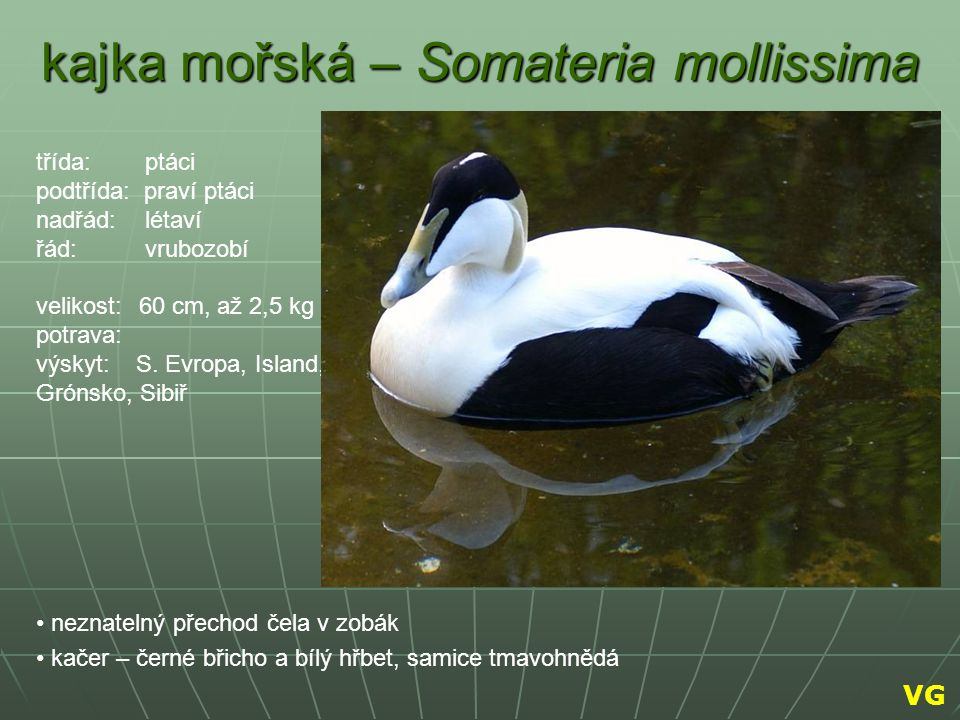 kajka mořská – Somateria mollissima neznatelný přechod čela v zobák kačer – černé břicho a bílý hřbet, samice tmavohnědá třída: ptáci podtřída: praví