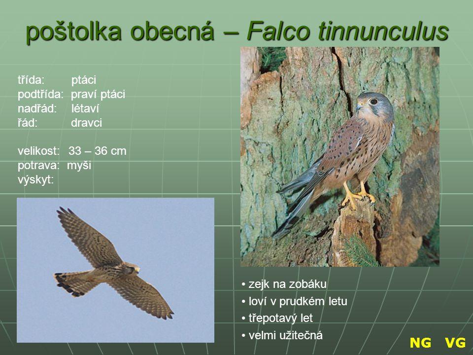 poštolka obecná – Falco tinnunculus zejk na zobáku loví v prudkém letu třepotavý let velmi užitečná třída: ptáci podtřída: praví ptáci nadřád: létaví