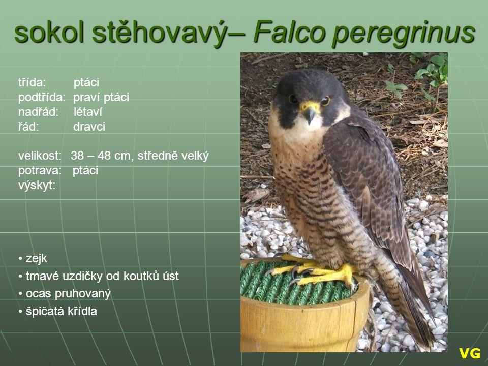 sokol stěhovavý– Falco peregrinus zejk tmavé uzdičky od koutků úst ocas pruhovaný špičatá křídla třída: ptáci podtřída: praví ptáci nadřád: létaví řád