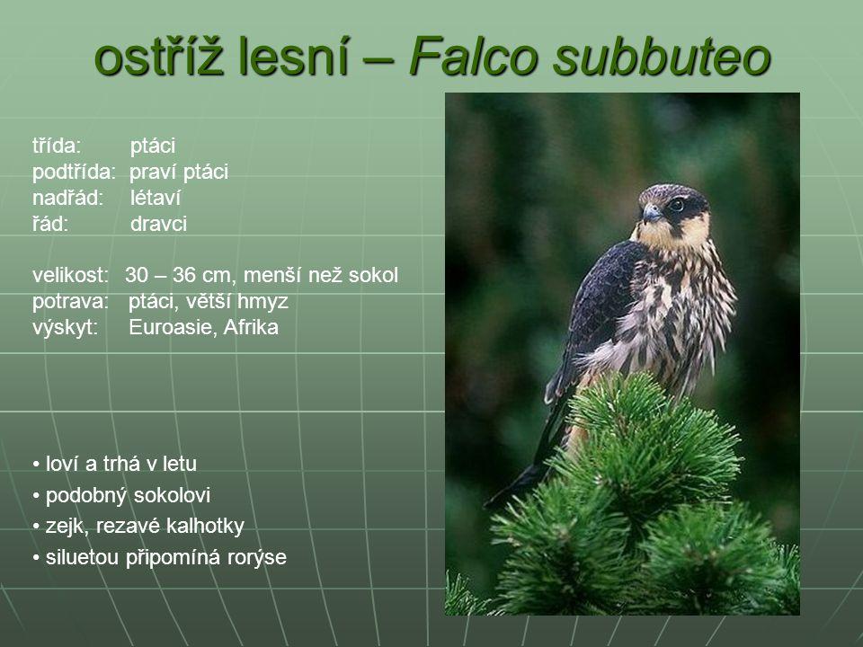 ostříž lesní – Falco subbuteo loví a trhá v letu podobný sokolovi zejk, rezavé kalhotky siluetou připomíná rorýse třída: ptáci podtřída: praví ptáci n