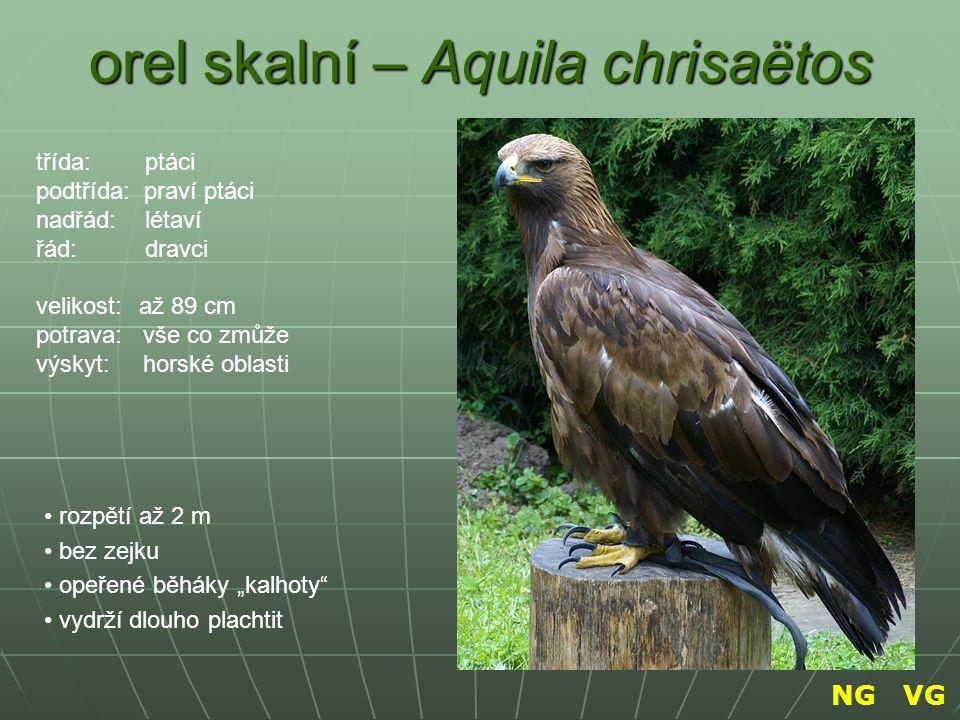 """orel skalní – Aquila chrisaëtos rozpětí až 2 m bez zejku opeřené běháky """"kalhoty"""" vydrží dlouho plachtit třída: ptáci podtřída: praví ptáci nadřád: lé"""