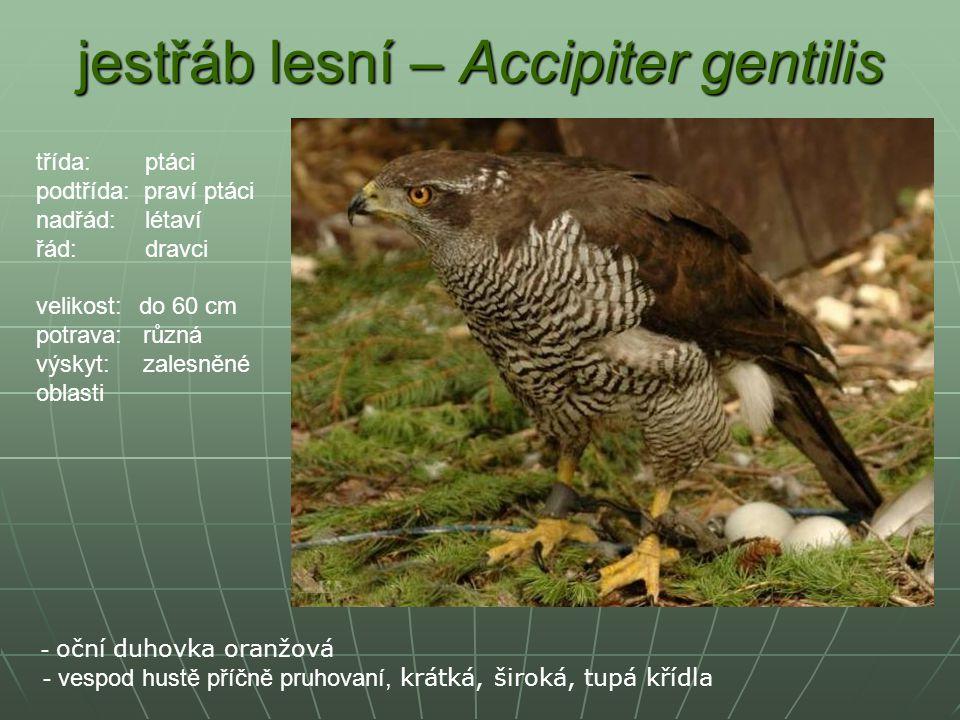jestřáb lesní – Accipiter gentilis - oční duhovka oranžová - vespod hustě příčně pruhovaní, krátká, široká, tupá křídla třída: ptáci podtřída: praví p
