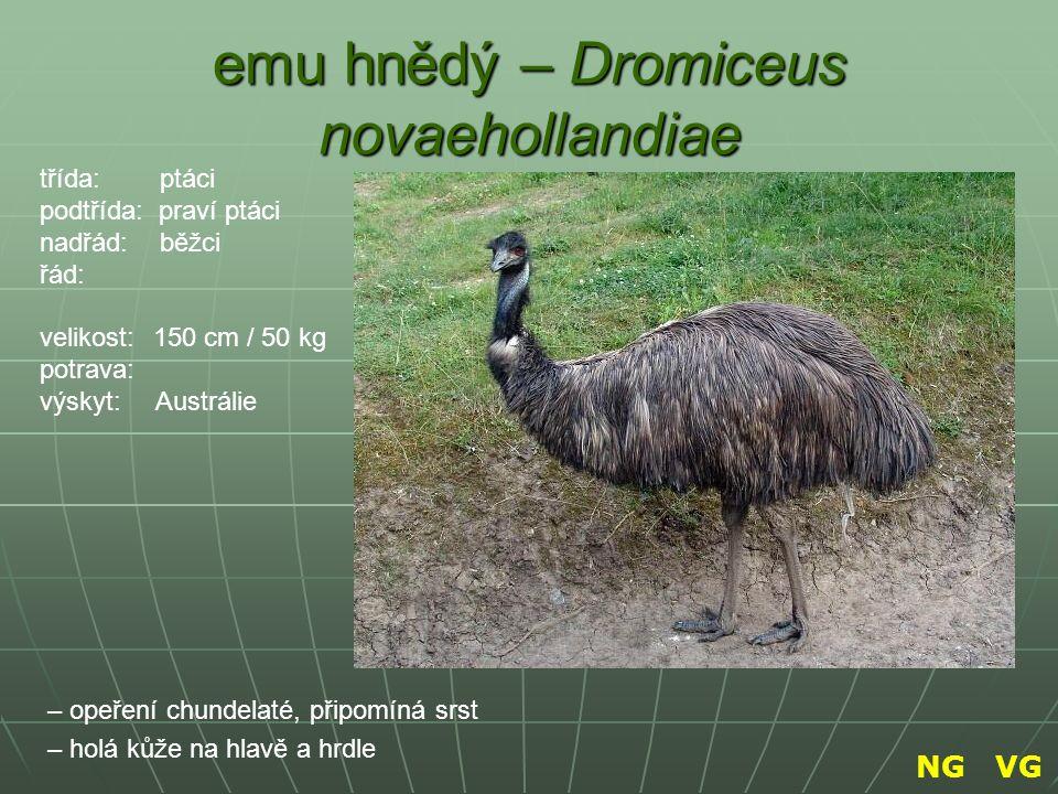 emu hnědý – Dromiceus novaehollandiae – opeření chundelaté, připomíná srst – holá kůže na hlavě a hrdle třída: ptáci podtřída: praví ptáci nadřád: běž