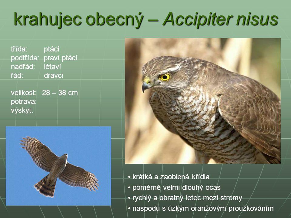 krahujec obecný – Accipiter nisus krátká a zaoblená křídla poměrně velmi dlouhý ocas rychlý a obratný letec mezi stromy naspodu s úzkým oranžovým prou