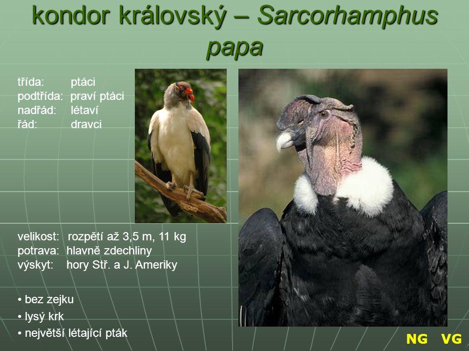 kondor královský – Sarcorhamphus papa bez zejku lysý krk největší létající pták třída: ptáci podtřída: praví ptáci nadřád: létaví řád: dravci velikost