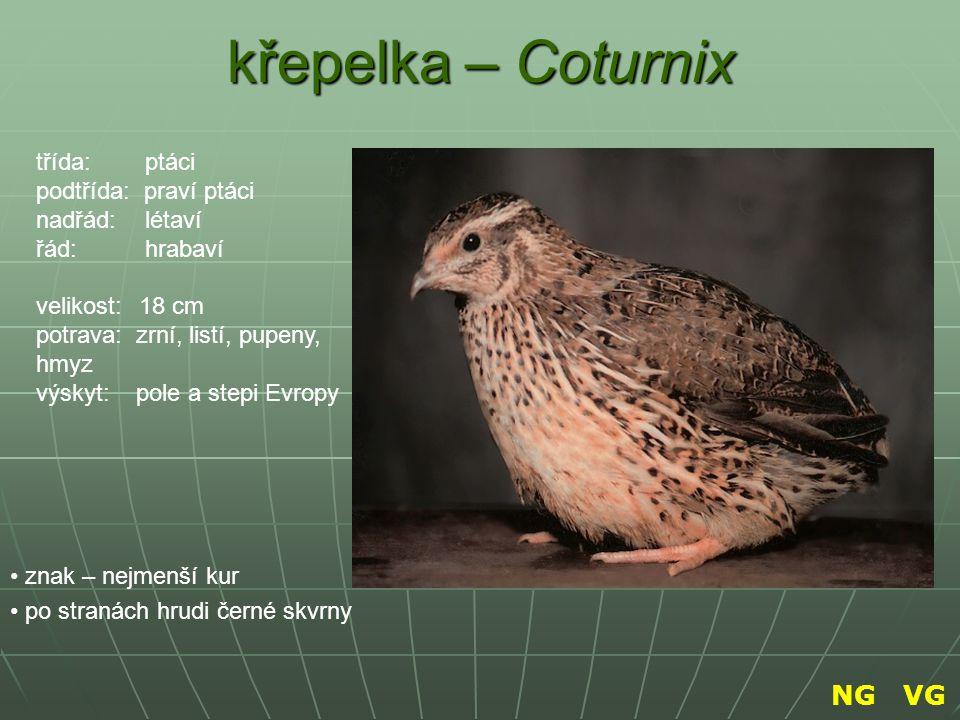 křepelka – Coturnix znak – nejmenší kur po stranách hrudi černé skvrny třída: ptáci podtřída: praví ptáci nadřád: létaví řád: hrabaví velikost: 18 cm