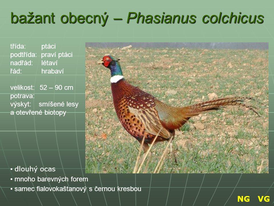 bažant obecný – Phasianus colchicus dlouhý ocas mnoho barevných forem samec fialovokaštanový s černou kresbou třída: ptáci podtřída: praví ptáci nadřá