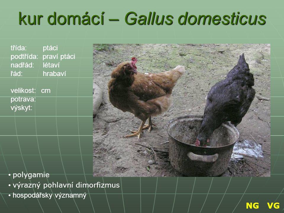 kur domácí – Gallus domesticus polygamie výrazný pohlavní dimorfizmus hospodářsky významný třída: ptáci podtřída: praví ptáci nadřád: létaví řád: hrab