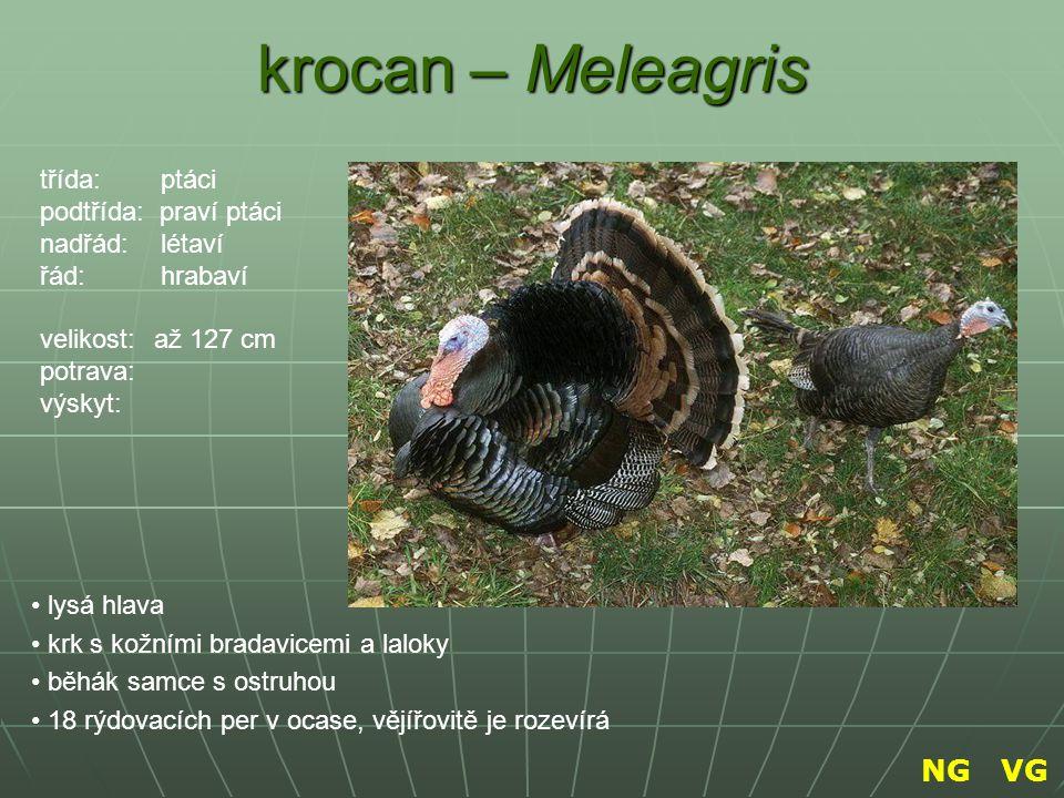 krocan – Meleagris lysá hlava krk s kožními bradavicemi a laloky běhák samce s ostruhou 18 rýdovacích per v ocase, vějířovitě je rozevírá třída: ptáci