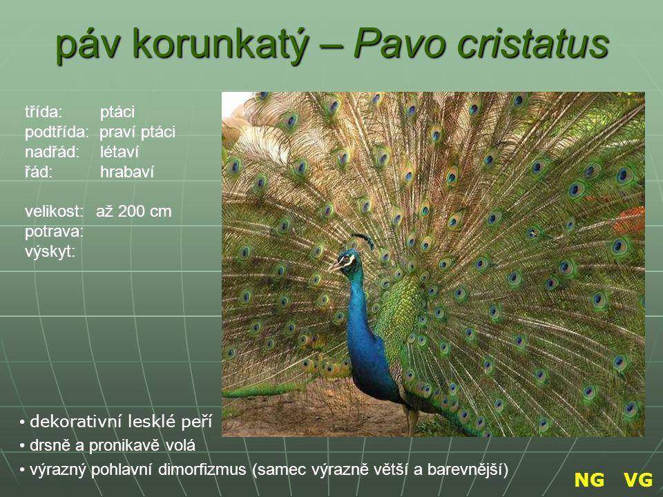 páv korunkatý – Pavo cristatus dekorativní lesklé peří drsně a pronikavě volá výrazný pohlavní dimorfizmus (samec výrazně větší a barevnější) třída: p