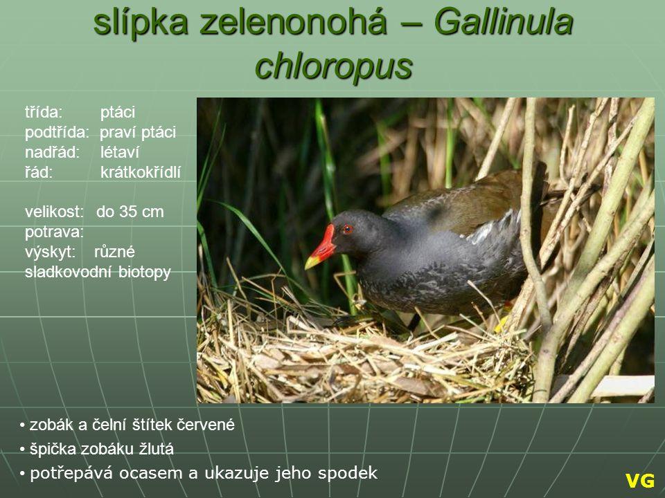 slípka zelenonohá – Gallinula chloropus zobák a čelní štítek červené špička zobáku žlutá potřepává ocasem a ukazuje jeho spodek třída: ptáci podtřída: