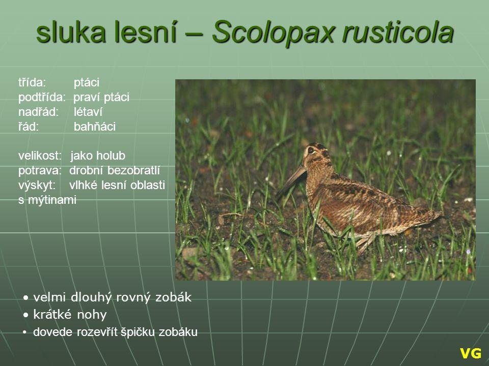 sluka lesní – Scolopax rusticola velmi dlouhý rovný zobák krátké nohy dovede rozevřít špičku zobáku třída: ptáci podtřída: praví ptáci nadřád: létaví