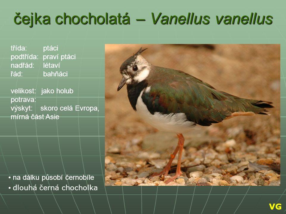 čejka chocholatá – Vanellus vanellus na dálku působí černobíle dlouhá černá chocholka třída: ptáci podtřída: praví ptáci nadřád: létaví řád: bahňáci v