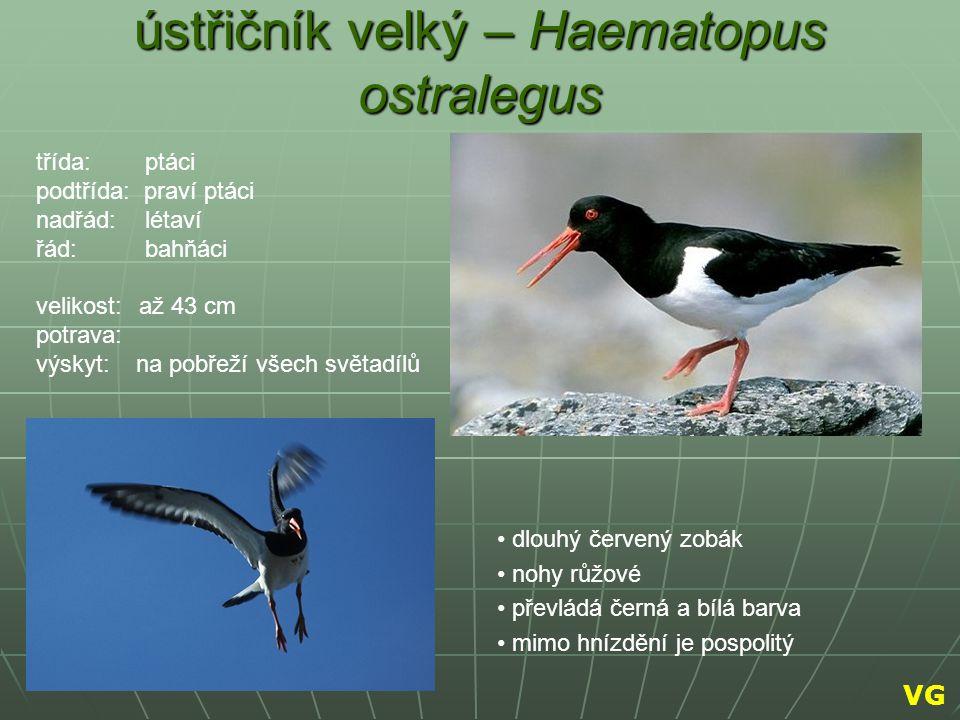ústřičník velký – Haematopus ostralegus dlouhý červený zobák nohy růžové převládá černá a bílá barva mimo hnízdění je pospolitý třída: ptáci podtřída:
