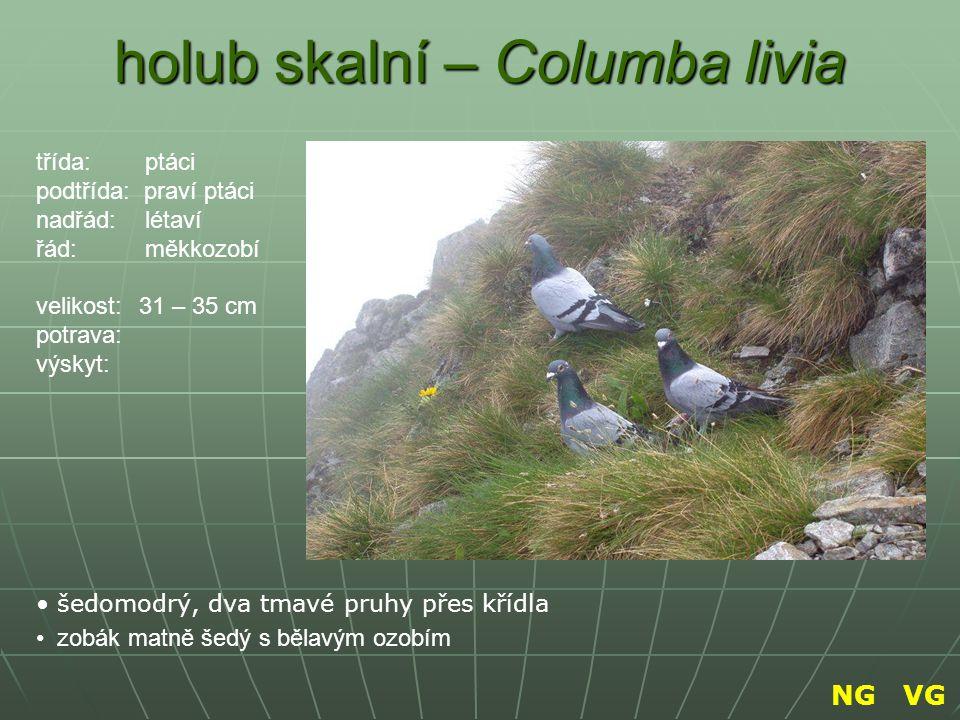 holub skalní – Columba livia šedomodrý, dva tmavé pruhy přes křídla zobák matně šedý s bělavým ozobím třída: ptáci podtřída: praví ptáci nadřád: létav