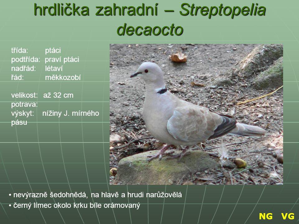hrdlička zahradní – Streptopelia decaocto nevýrazně šedohnědá, na hlavě a hrudi narůžovělá černý límec okolo krku bíle orámovaný třída: ptáci podtřída