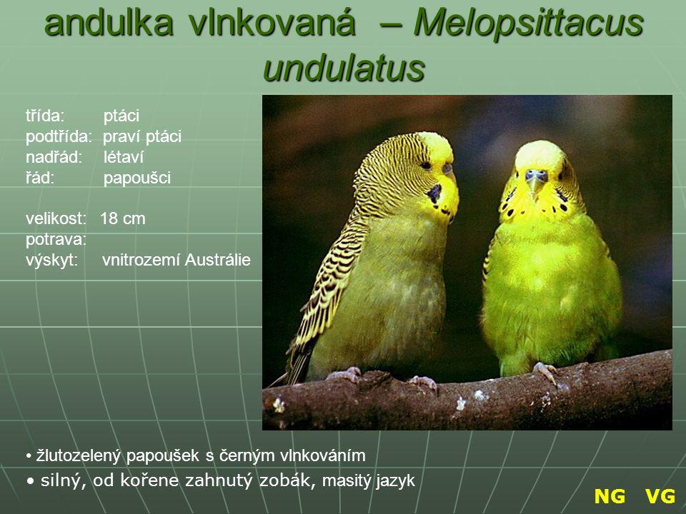 andulka vlnkovaná – Melopsittacus undulatus žlutozelený papoušek s černým vlnkováním silný, od kořene zahnutý zobák, masitý jazyk třída: ptáci podtříd