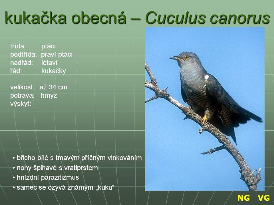 """kukačka obecná – Cuculus canorus břicho bílé s tmavým příčným vlnkováním nohy šplhavé s vratiprstem hnízdní parazitizmus samec se ozývá známým """"kuku"""""""