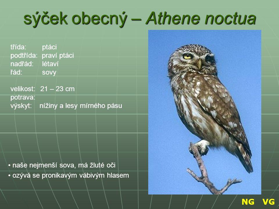 sýček obecný – Athene noctua naše nejmenší sova, má žluté oči ozývá se pronikavým vábivým hlasem třída: ptáci podtřída: praví ptáci nadřád: létaví řád