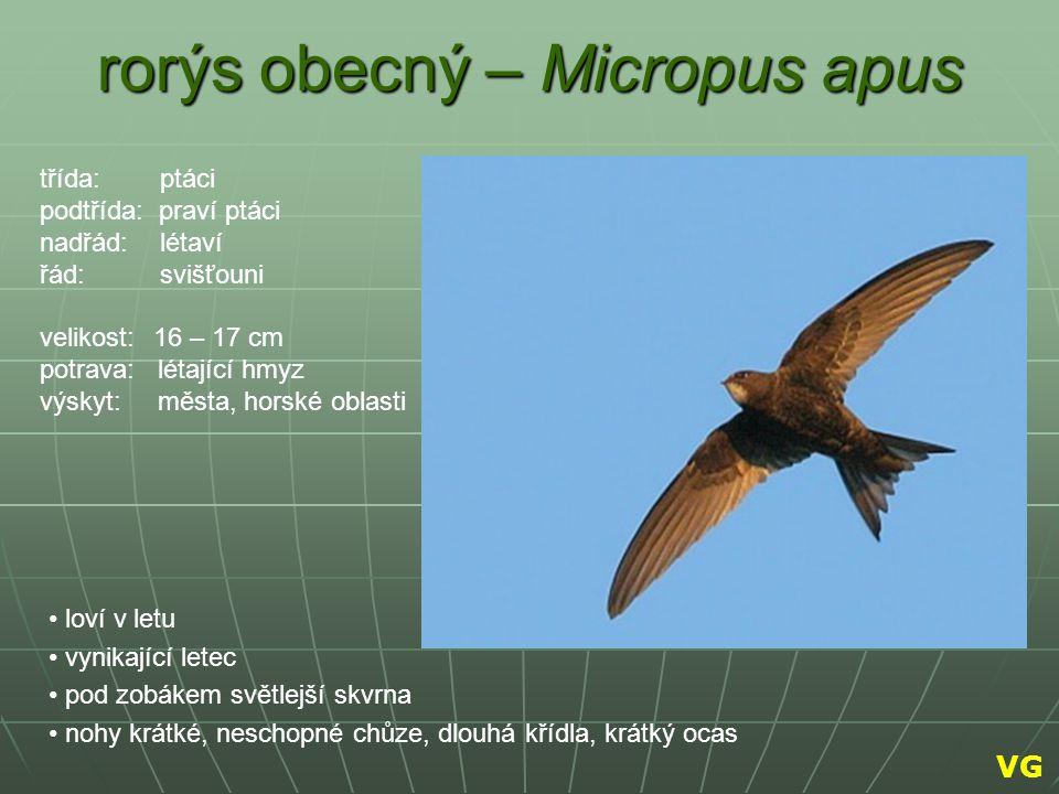 rorýs obecný – Micropus apus loví v letu vynikající letec pod zobákem světlejší skvrna nohy krátké, neschopné chůze, dlouhá křídla, krátký ocas třída:
