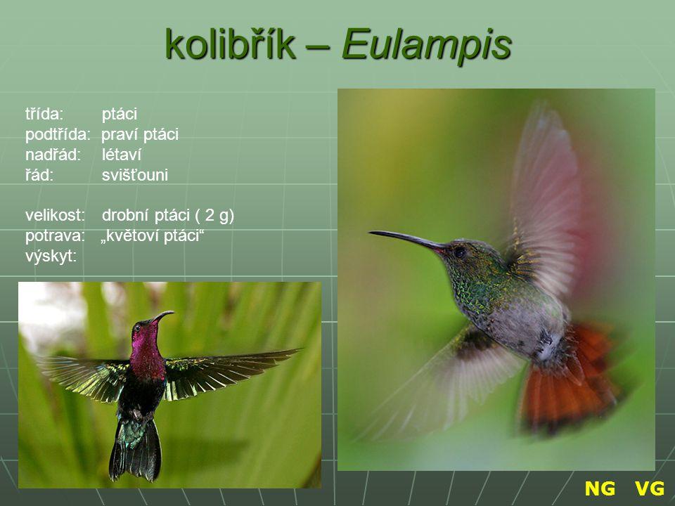 """kolibřík – Eulampis znak třída: ptáci podtřída: praví ptáci nadřád: létaví řád: svišťouni velikost: drobní ptáci ( 2 g) potrava: """"květoví ptáci"""" výsky"""
