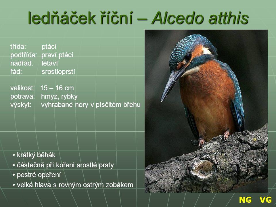 ledňáček říční – Alcedo atthis krátký běhák částečně při kořeni srostlé prsty pestré opeření velká hlava s rovným ostrým zobákem třída: ptáci podtřída