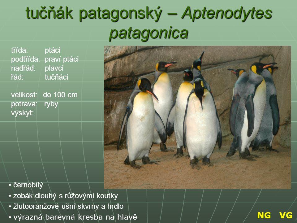 tučňák patagonský – Aptenodytes patagonica černobílý zobák dlouhý s růžovými koutky žlutooranžové ušní skvrny a hrdlo výrazná barevná kresba na hlavě