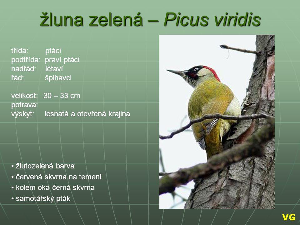 žluna zelená – Picus viridis žlutozelená barva červená skvrna na temeni kolem oka černá skvrna samotářský pták třída: ptáci podtřída: praví ptáci nadř