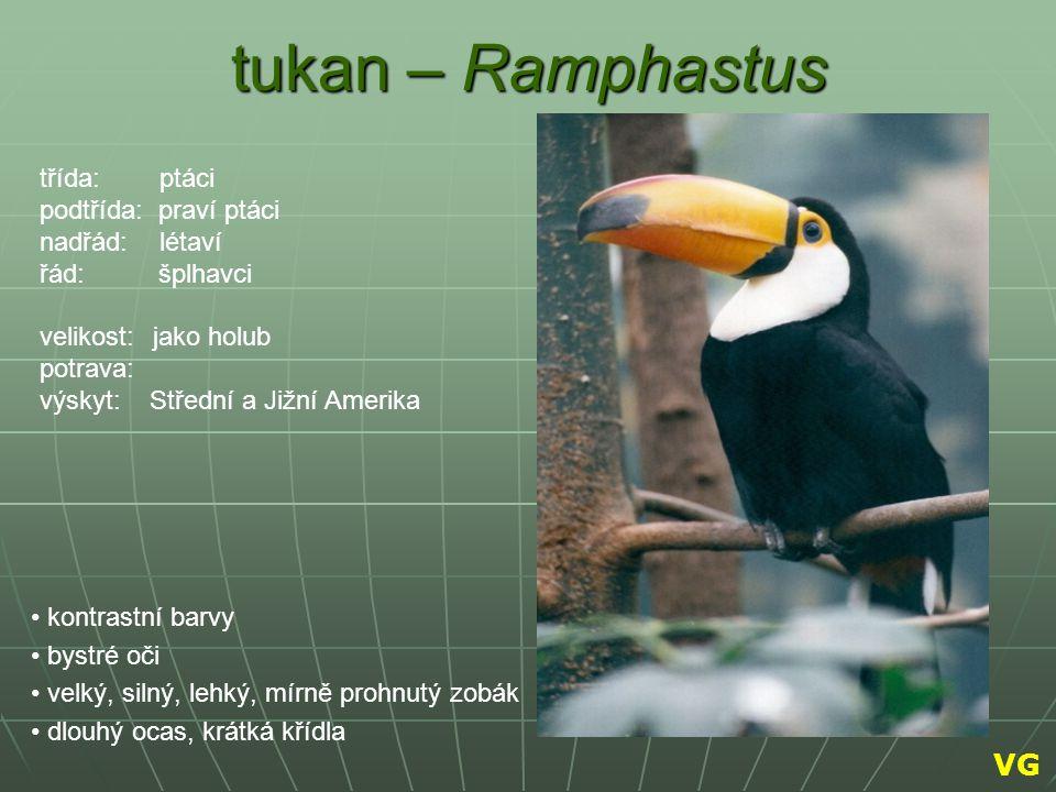 tukan – Ramphastus kontrastní barvy bystré oči velký, silný, lehký, mírně prohnutý zobák dlouhý ocas, krátká křídla třída: ptáci podtřída: praví ptáci